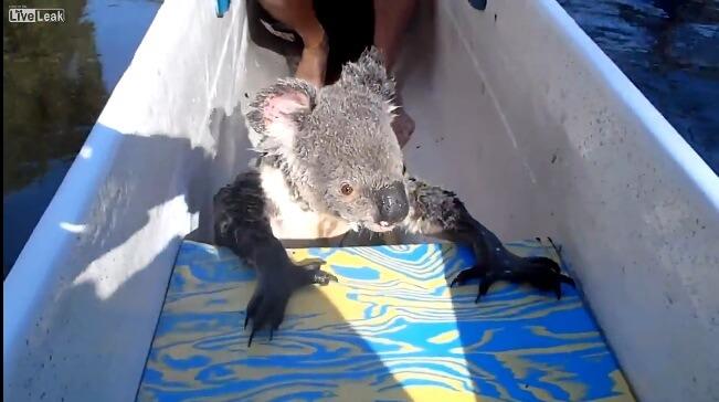 f コアラって泳げるんだね。 動画