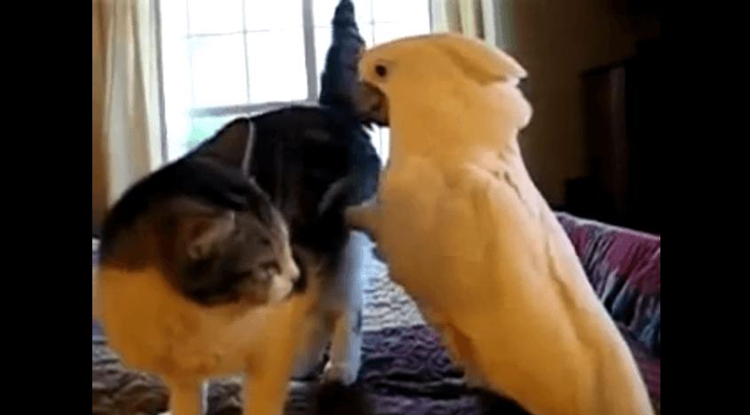 dada 猫に騎乗しようとするオウム 動画