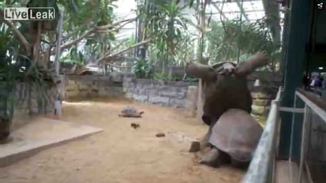 main_ 荒ぶるゾウガメがヤバい 動画