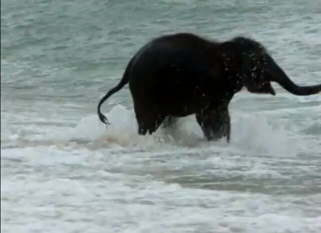 c2dae10588696ed970ef086c28f95013 海ではしゃぐ赤ちゃん象が可愛い 動画